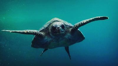 A sea turtle swims in the ocean in Galapagos Islands, Ecuador