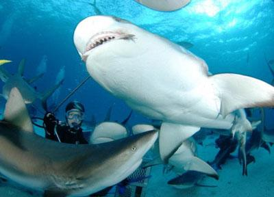 A volunteer diving with sharks in Fiji