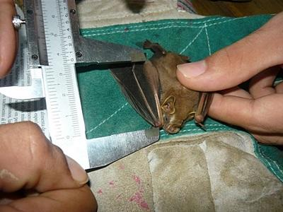 The Bat Project in Costa Rica
