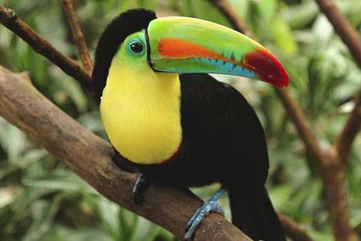 Rainbow-billed Toucan at at a bird sanctuary near Heredia, Costa Rica