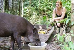 A Conservation High School Project volunteer helps with rehabilitating a rescued tapir at our placement in Peru.
