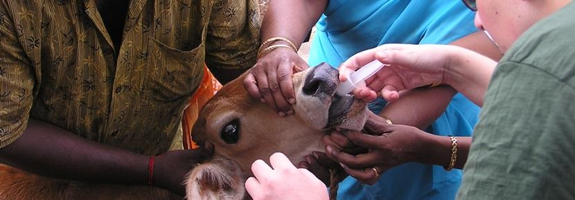 Projects Abroad Veterinary volunteer treats a domestic cow in India