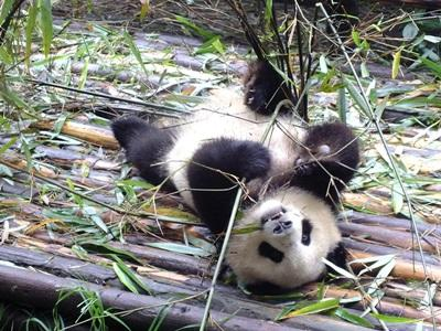 Volunteer overseas with Projects Abroad and work with pandas in China