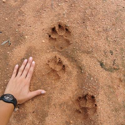 A Projects Abroad Conservation volunteer in Africa places their hand next to animal tracks in a Botswana game reserve