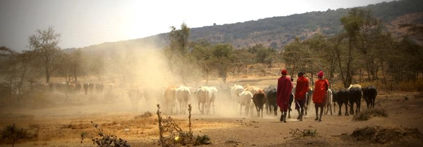 Members of the Maasai tribe in Tanzania herding cattle on the Maasai Community Project, one example of volunteer work in Africa