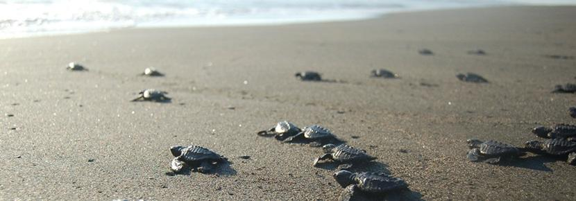 Turtle babies make their way to the water at a beach in Mexico